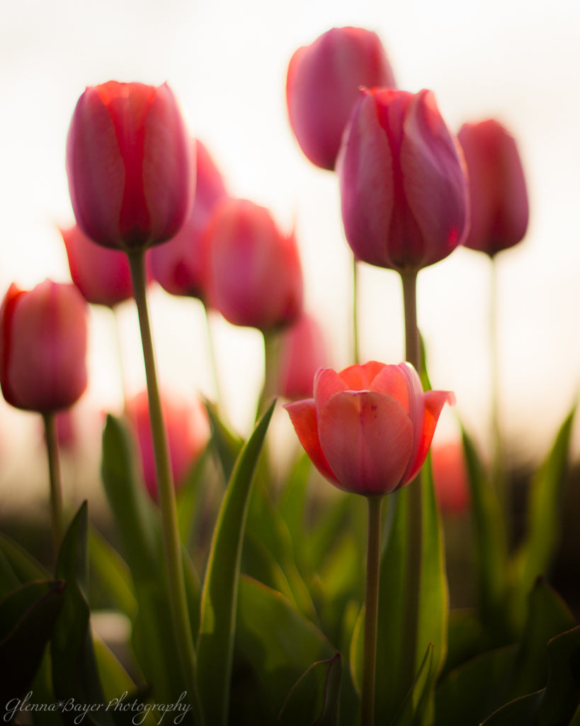 Close up of pink tulips in golden morning light