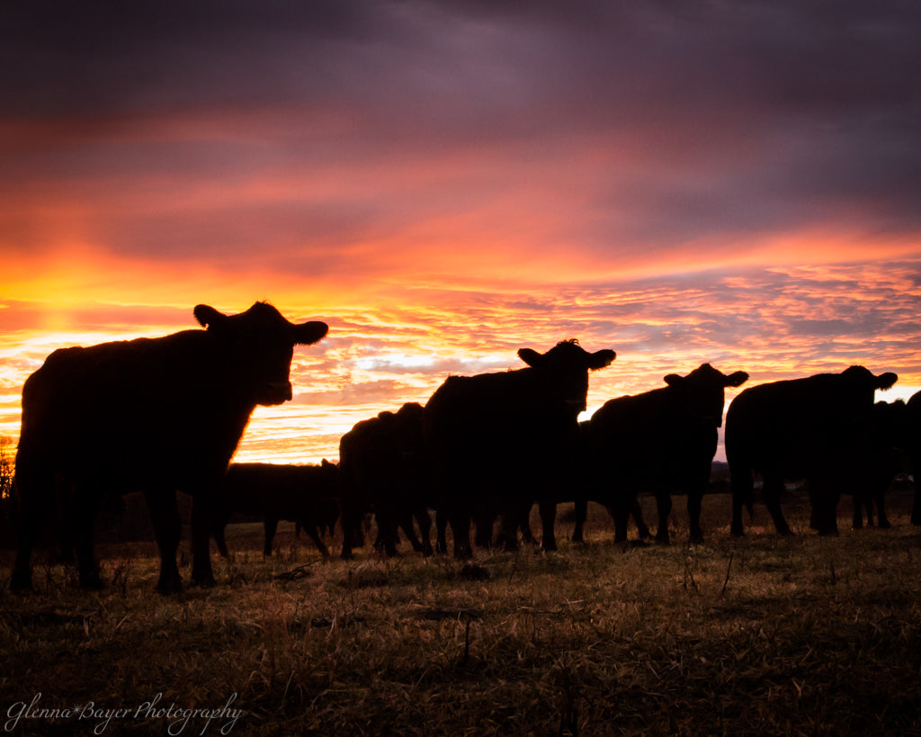 Silhouette of a herd of cattle during sunset near Red Valley, Virginia