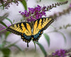 Yellow Swallowtail on Purple Flower