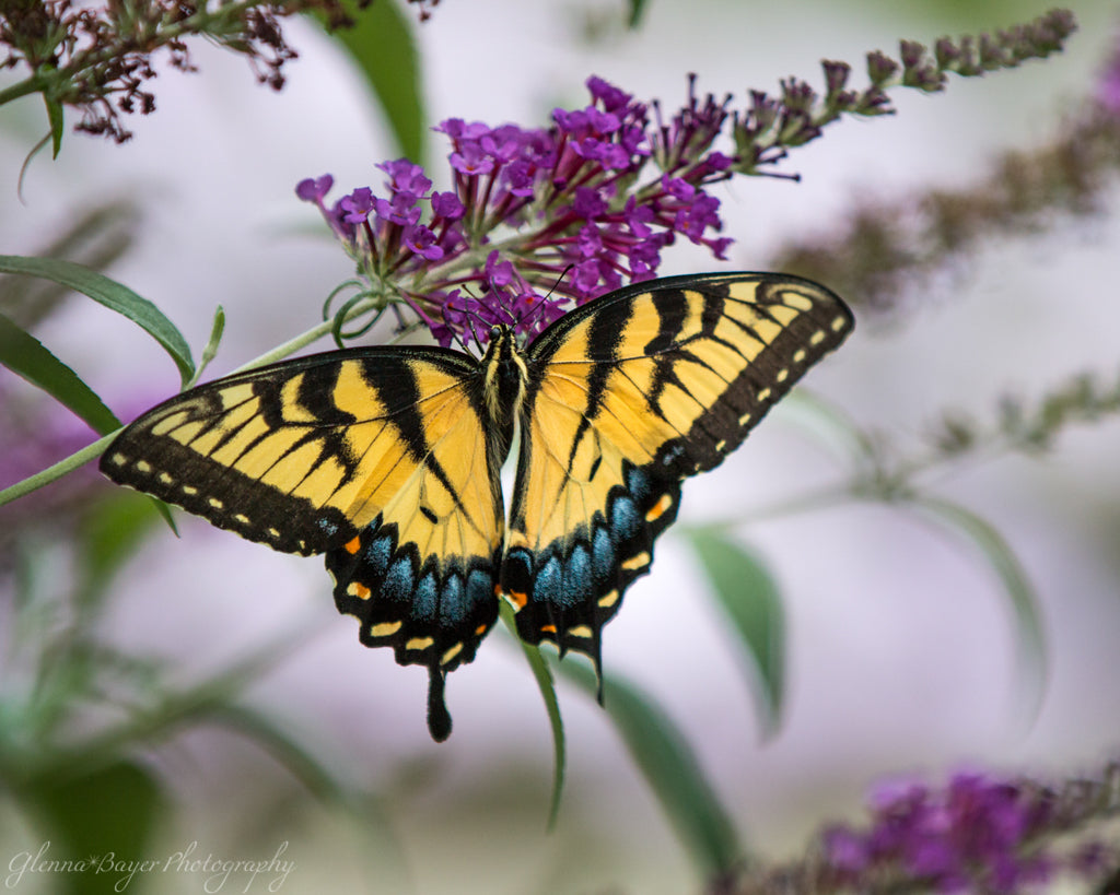 Yellow Swallowtail butterfly on purple flower