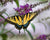 Swallowtail on Purple Flower (0194)