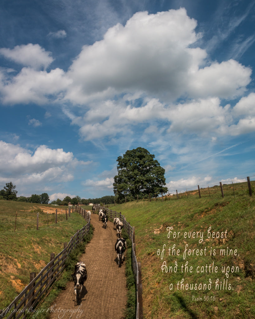 Holstein cows walking down dirt path in Callaway, Virginia with scripture verse