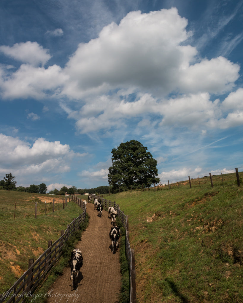 Holstein cows walking down dirt path in Callaway, Virginia