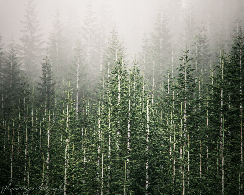 Washington Evergreens and Fog (0039)