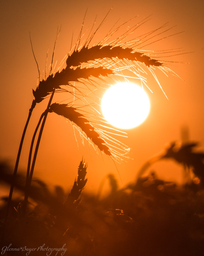 Silhouette of wheat against orange sunset