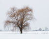 Willow in Winter, Snow, Tree