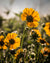 Yellow Sunlit Flowers (0074)