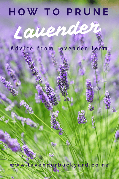How to prune lavender, Lavender Backyard Garden, a New Zealand lavender farm