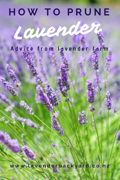 Gardening Tips: How to prune your lavender. Advice from New Zealand Lavender Farm-Lavender Backyard Garden