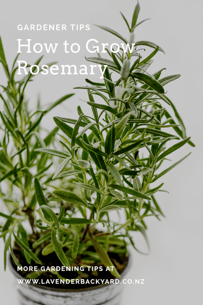 Garden Tips: How to grow Rosemary from Lavender Farm NZ.