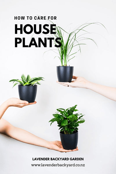How to care Indoor Plants, NZ Lavender Farm