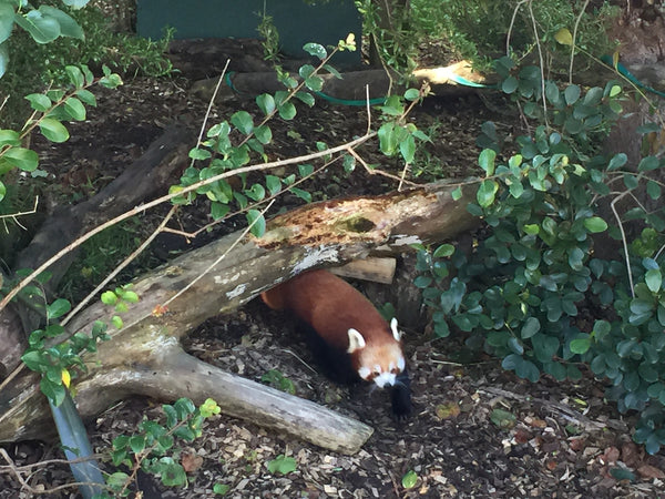 Red Panda, cute, Auckland, Auckland Zoo, NZ, New Zealand, Places to go, Kids, Fun