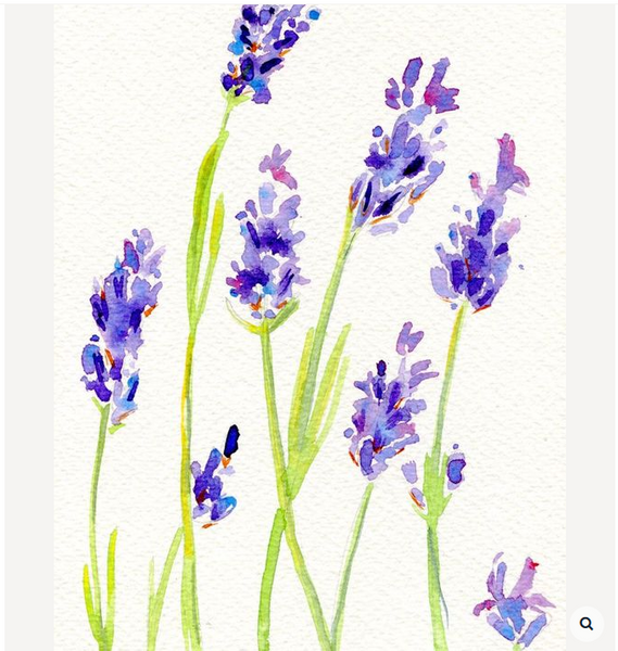 Lavender Art, Lavender Watercolor by Hannah Clark, Lavender Backyard Garden, Lavender Farm in New Zealand.