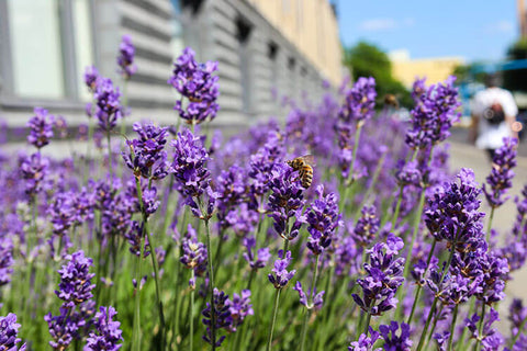 Home Garden How to Prune Lavender