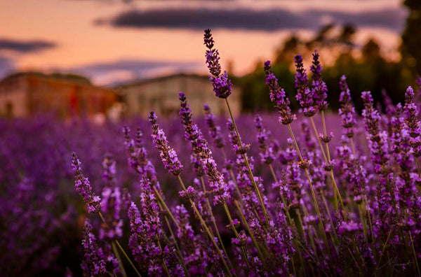 Lavender Flowers New Zealand Landscape Fine Art Photography by Michelle Durrant