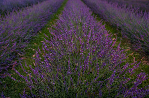 Lavender Blooming at Lavender Backyard Garden by Michelle Durrant, NZ Landscape Fine Art Photography