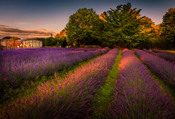 Lavender Field at Lavender Backyard Garden by Michelle Durrant, NZ Landscape Fine Art Photography