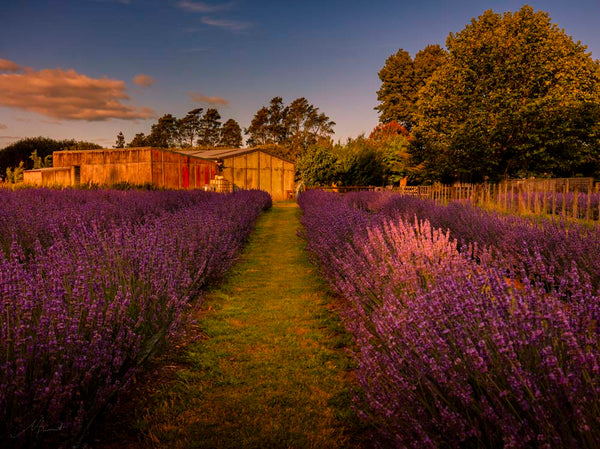 lavender, Michelle Durrnt, New Zealand, Lavender, Lavender Farm, Hmailton, Things to do, Attraction, Fun, Holiday
