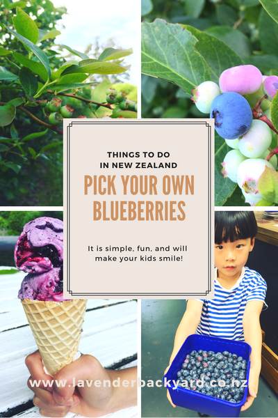Things to do in New Zealand: Pick Your Own (PYO) Blueberries. NZ Blueberry Farm.