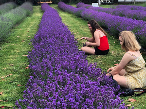 Pick Your Own (PYO) Lavender at Lavender Backyard Garden