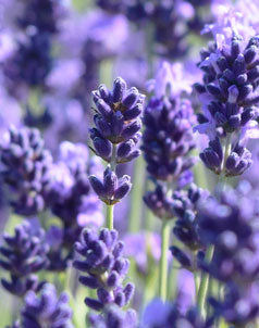 Lavandula angustifolia (Pacific Blue), How to choose the right lavenders for your garden