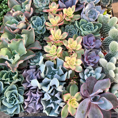 A variety of Zensability succulents shown together in a nursery tray.