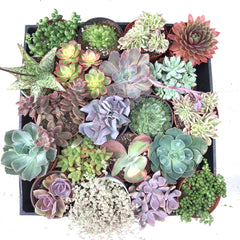 Tray full of variety of types of succulents including Aloe, Echeveria, and Sedum.