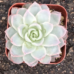 Top down view of the Echeveria 'Violet Queen' - 2 INCH. Tight rosette.