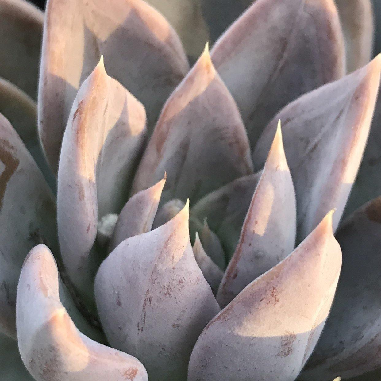 Rare Echeveria 'Silver Queen' succulent live plant gift, 4 INCH, Zensability Online Plant Nursery, Large full rosette of thich triangular silver-lavendar colored leaves