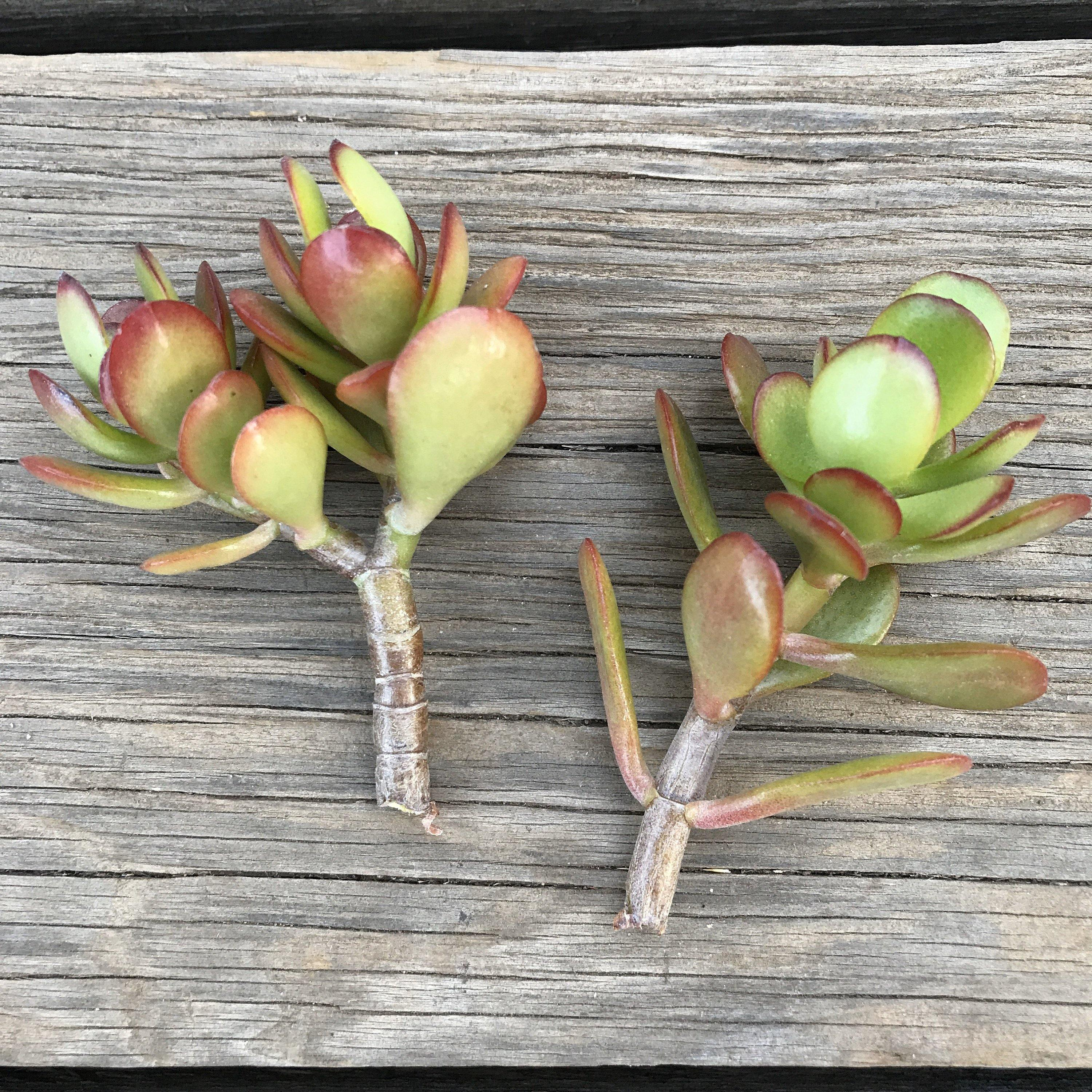 CUTTINGS - Crassula ovata 'Crosby's Dwarf' - 2-3 INCH