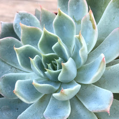 Echeveria peacockii double-head live rooted rosette succulent plant gift,  4