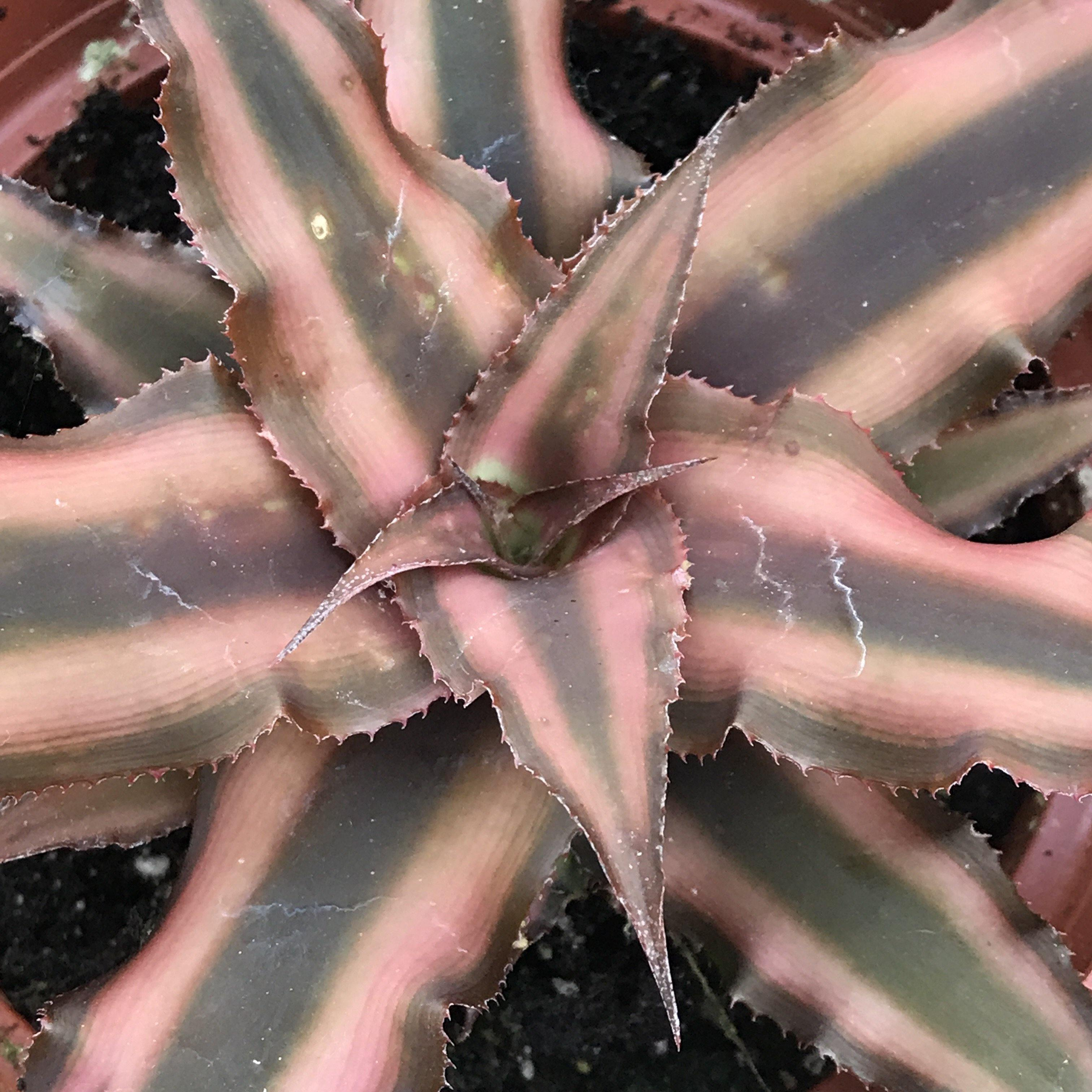 "Cryptanthus 'Earth Star' - 4"", easy-care plant"
