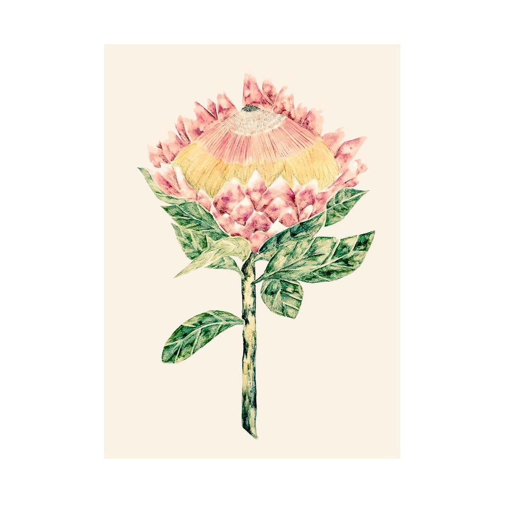 King Protea with Cream Background