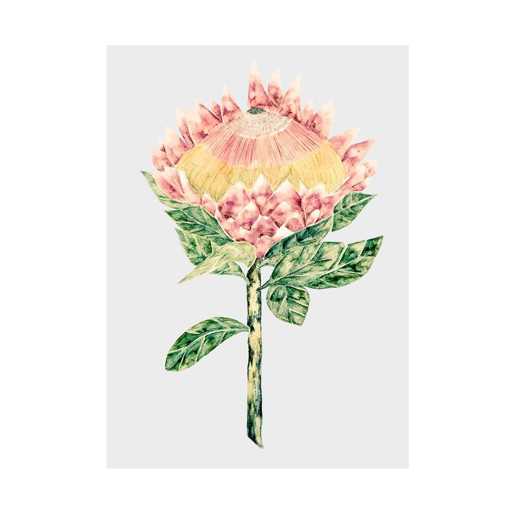 King Protea with Grey Background