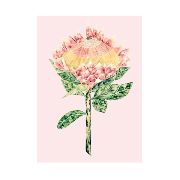 King Protea with Pale Pink Background