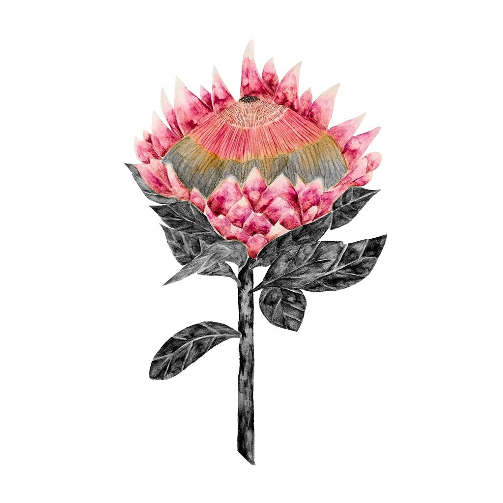 Blooming Protea with White Background