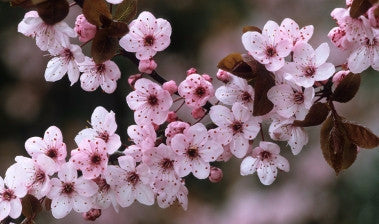 Thundercloud Flowering Plum