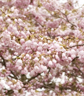 Yoshino Flowering Cherry (White)