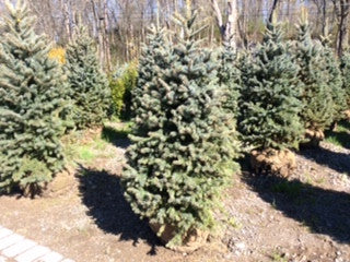 Baby Blue Colorado Spruce
