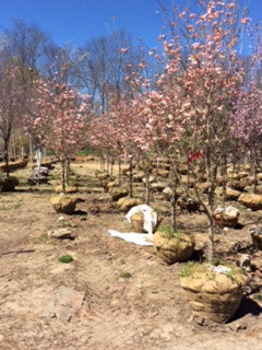 Cherokee Brave Flowering Dogwood (Pink)