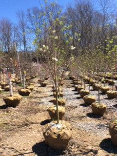 Cherokee Princess Flowering Dogwood (White)
