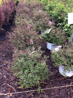 Spirea Double Play - Pink