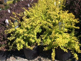 Golden Barberry