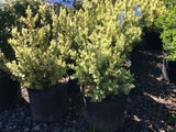 Variegated Common Boxwood