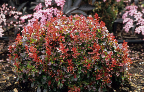 Bagatelle Dwarf Japanese Barberry