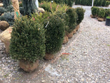 Newport Blue Boxwood