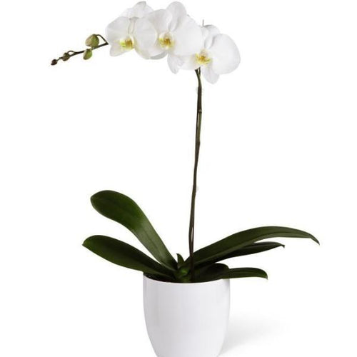 SAME DAY DELIVERY: PHALAENOPSIS ORCHID PLANT WITH VASE!