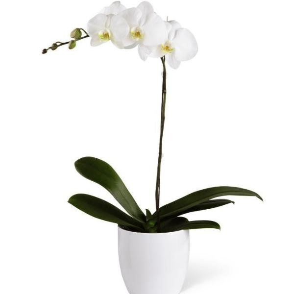 SAME DAY DELIVERY: PHALAENOPSIS ORCHID PLANT + VASE!