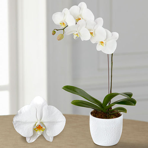 THIS WEEK'S SPECIAL: PREMIUM PHALAENOPSIS ORCHID PLANT