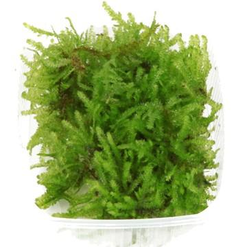 Christmas moss Portion - Aquascaping, [Product_type] - Aquarium plants Canada, [Product_vendor] - Aquarium stone, Driftwood, [shop name] The Wet Leaf